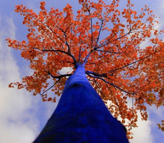 Blue-Tree-Autumn-Looking-Up_1000-pixels